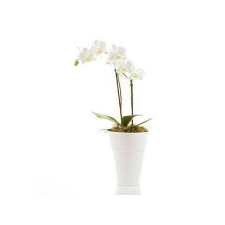 White Orchid (IL)