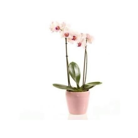 Pink Orchid (IL)