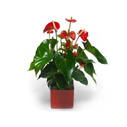 Red Anturium (IL)