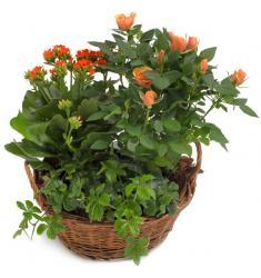 Orange Garden Mix (SE)