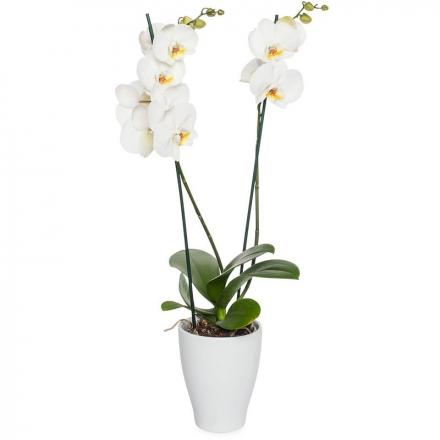 White orchid plant (NL)