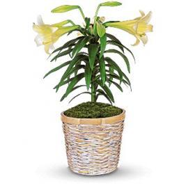 Easter Lily Plant (Αμερική-Καναδάς)