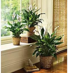 Simply Elegant Spathiphyllum - Large (Αμερική-Καναδάς)