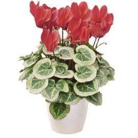 Cyclamen plant in a plastic pot