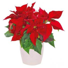Christmas Plant, Poinsettia