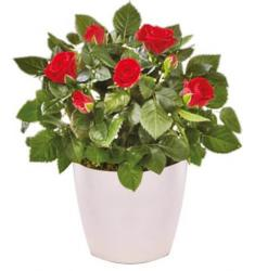 Mini red rose plant