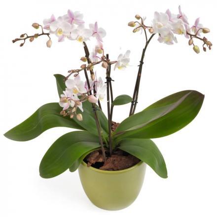 White Phalaenopsis (B)