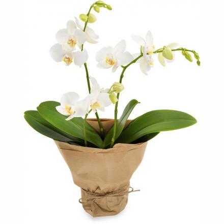 Opulent Orchid (B)