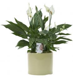 Spathiphylllum plant (Cy)