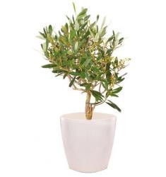 Greek Olive Plant (Cy)