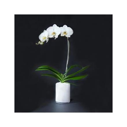 Single Orchid (Cy)