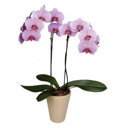 Pink Phalaenopsis Orchid in a Pot (Cy)