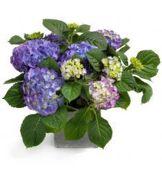 Φυτό Blue Hydrangea (F)