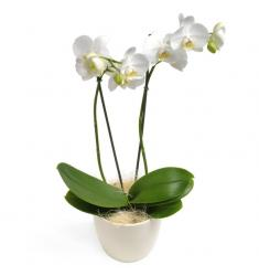 White Phalaenopsis Orchid (F)