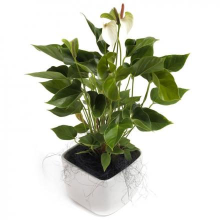 Awesome white Anthurium (G)