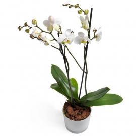 White Phalaenopsis Orchid (G)
