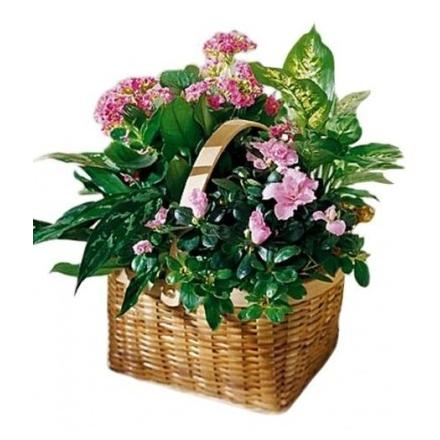 Basket Plants