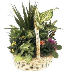 Καλάθι της Γιορτής - Διάφορα φυτά (μόνο για Ελλάδα)
