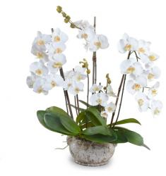 Orchids-white in a pot