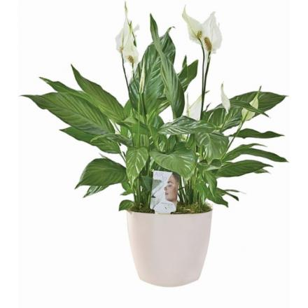 Spathiphylllum plant