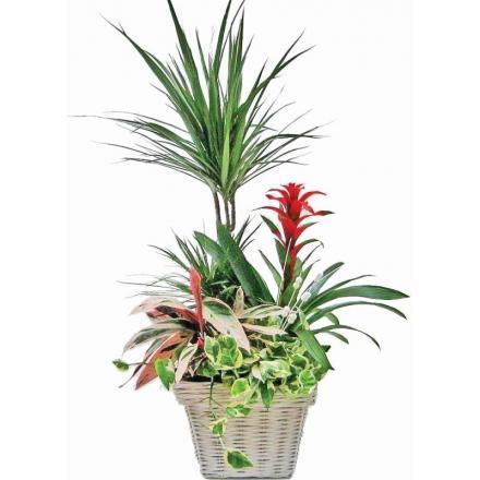Σύνθεση φυτών σε καλάθι (μόνο για Ελλάδα)