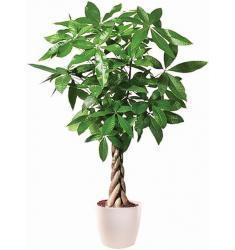 Παχύρα φυτό σε κασπώ πλαστικό