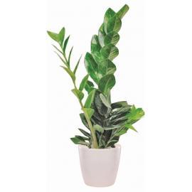 Ζαμιοκούλκα φυτό (μόνο για Ελλάδα)