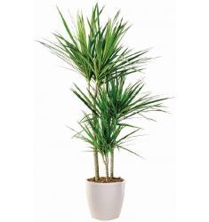 Φυτό δράκαινα Μαρτζινάτα (μόνο για Ελλάδα)