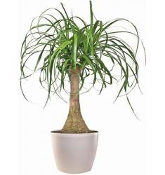 Φυτό Μπουκαρνέα σε κασπώ πλαστικό