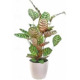Calathea plant in plastic pot