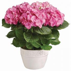 Φυτό Ορτανσία Ροζ σε κασπώ πλαστικό (μόνο για Ελλάδα)