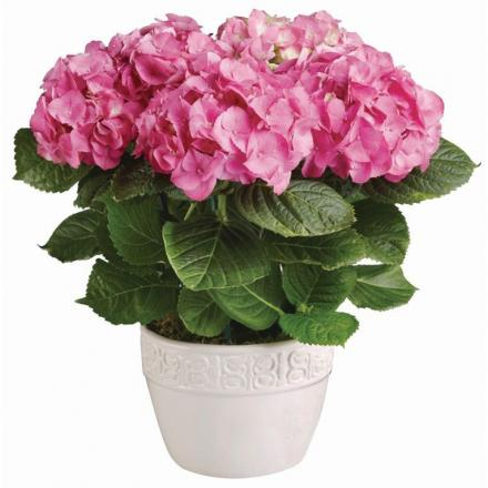 Φυτό Ορτανσία Ροζ σε κασπώ πλαστικό