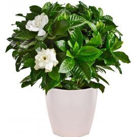 Φυτό Γαρδένια (μόνο για Ελλάδα)