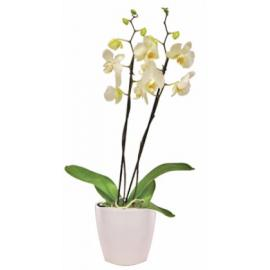 White Phalaenopsis Orchid in a Pot