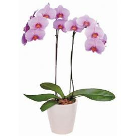 Pink Phalaenopsis Orchid in a Pot