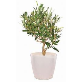 Greek Olive Plant