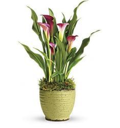 Spring Calla Lily Plant  (Αμερική)