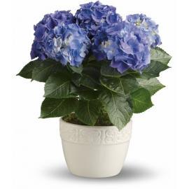 Happy Hydrangea - Blue  (Αμερική-Καναδάς)