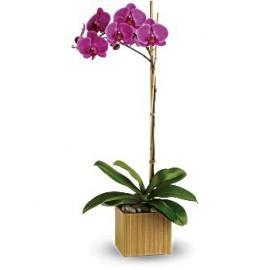 Imperial Purple Orchid (Αμερική-Καναδάς)