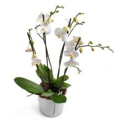 Λευκή Phalaenopsis Orchid (G)