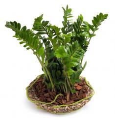 Ζάμια Φυτό(G)