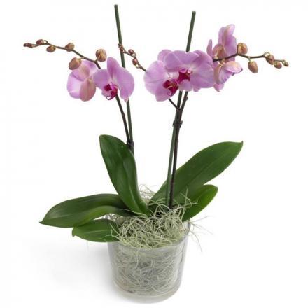Ροζ  Phalaenopsis Orchid (G)