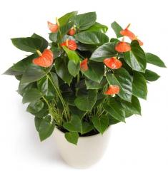 Anthurium in a pot (PL)