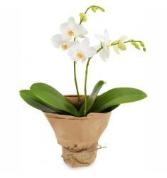 White Orchid (PL)