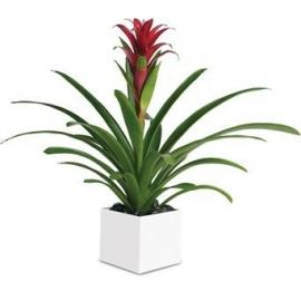 Bromeliad Beauty  (AUS)