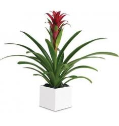 Bromeliad Beauty  (AUS)
