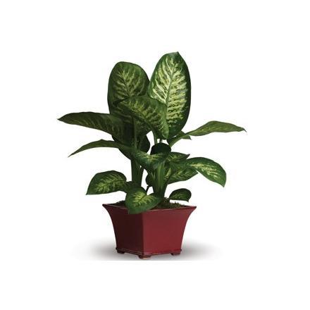 Ντιφεμπάχια φυτό  (AUS)