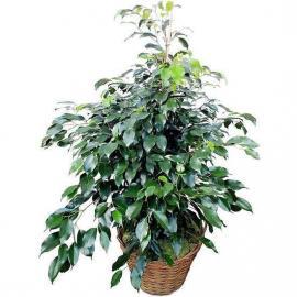 Ficus (SP)