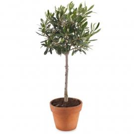 Olive tree (G)