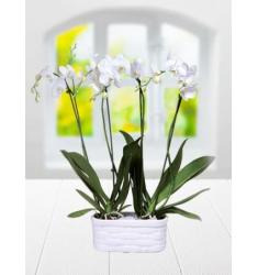 White color orcid (TR)